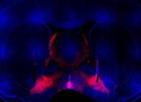 Neuronas de la región cerebral llamada pallidum ventral, responsables de las adicciones