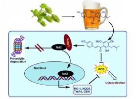 ¿Cerveza para prevenir el Alzheimer?